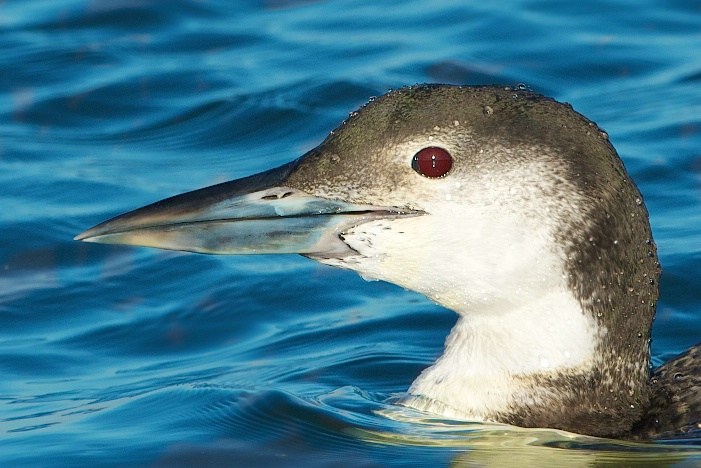 Face of a Juvenile Common Loon