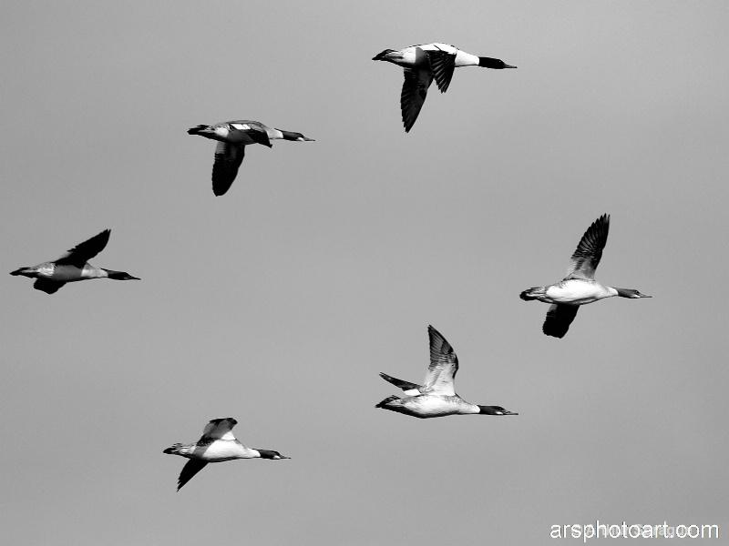 Ducks BW 1