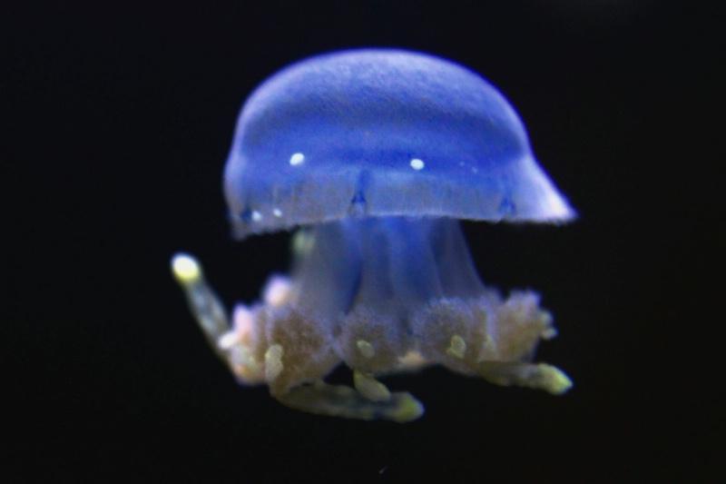 Austrailian Jellyfish