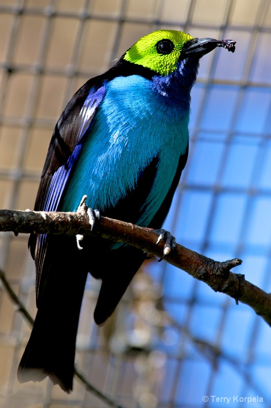 Paradise Tanager    San Diego Zoo