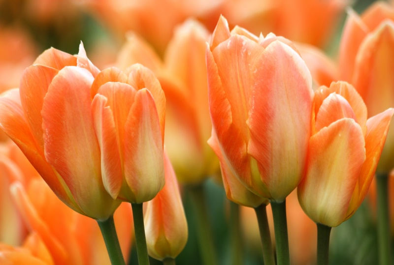 """""""Tulips in Harmony"""""""