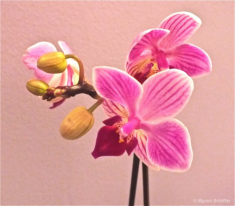 Orchid Ballet