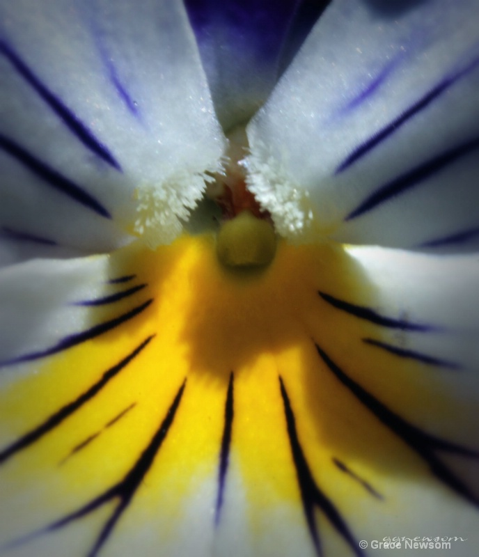 Pansy Detail