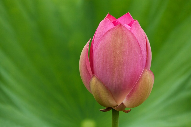 Budding Lotus (Flipped)