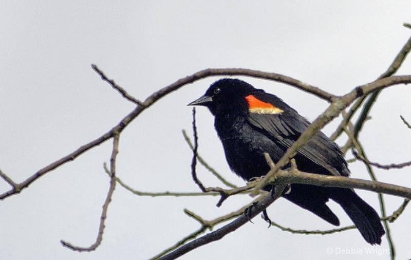 Redwing Blackbird