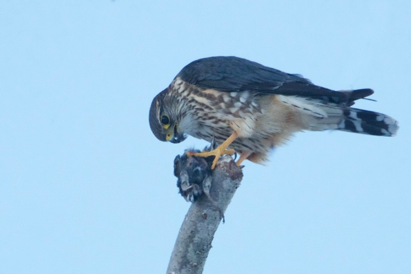 Merlin Falcon and Starling