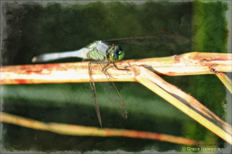Dragonfly Stare