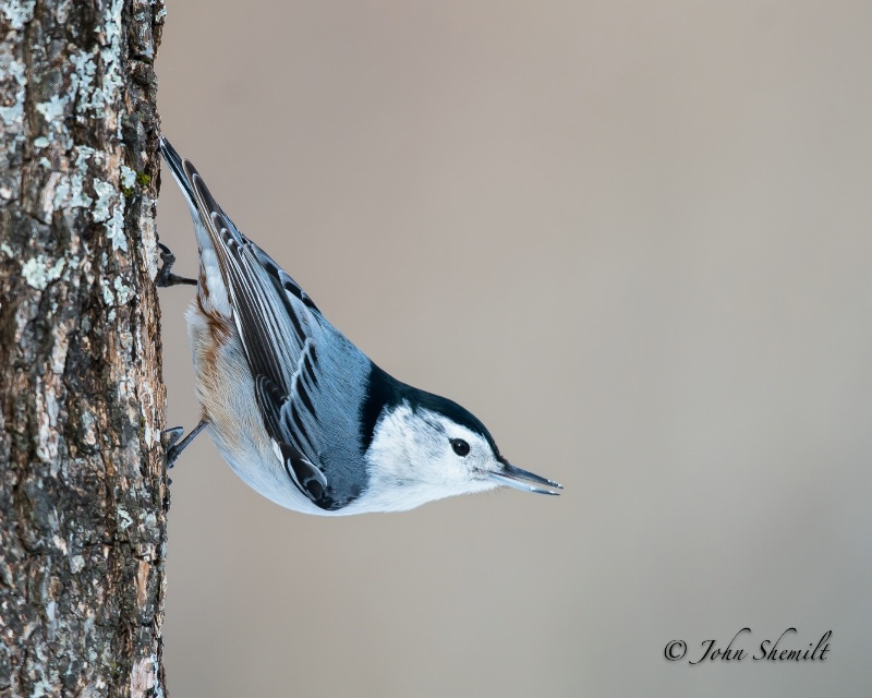 White-breasted Nuthatch - Feb 17th, 2013