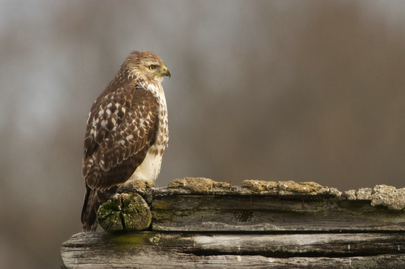Red Tailed Hawk on Roof of Log Cabin