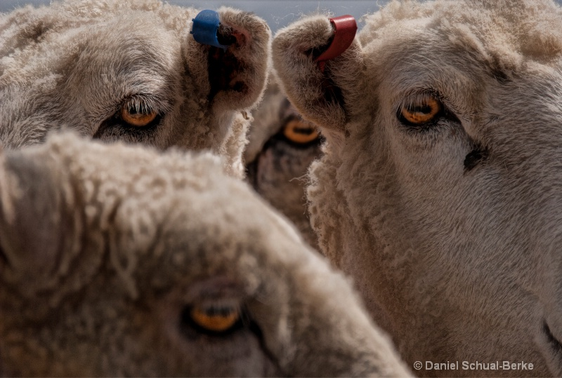 """Eyes Of Sheep"""