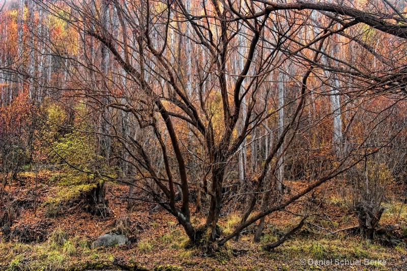 """""""Autumn Birches"""""""