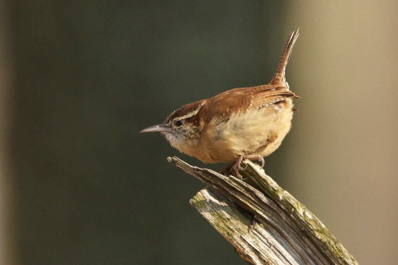 Carolina Wren on a Tree Stump