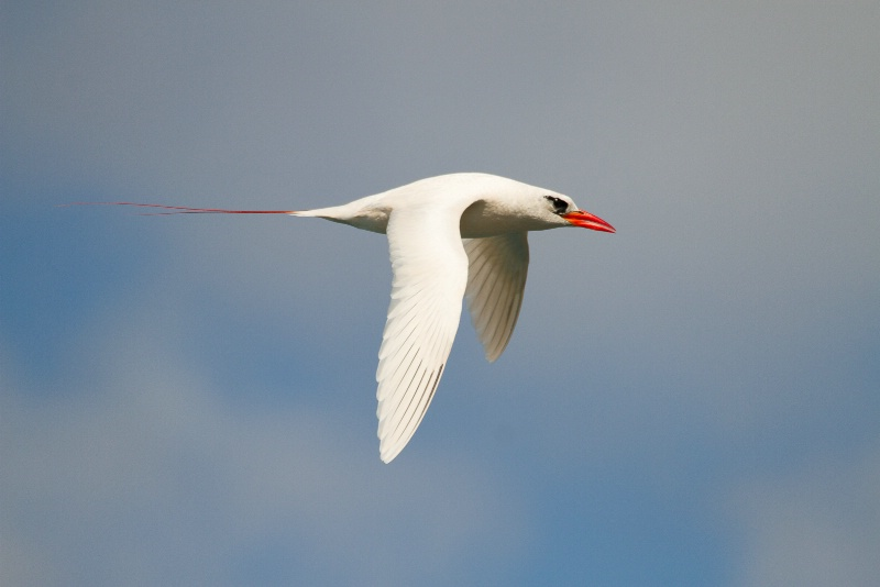 Red-tailed Tropic Bird
