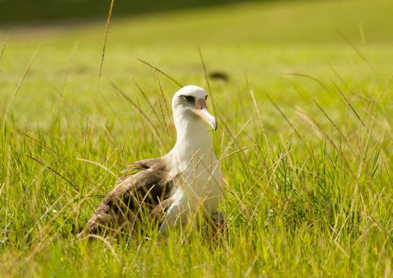 Laysan Albatross on the Nest