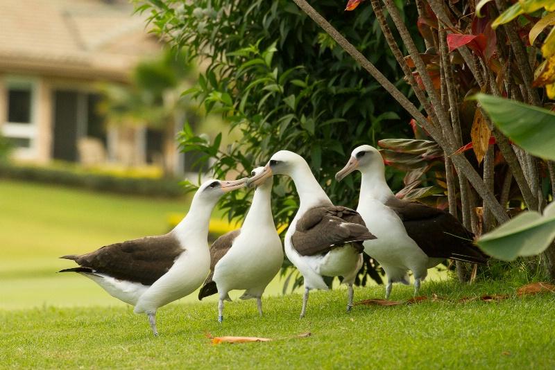 Laysan Albatross Party