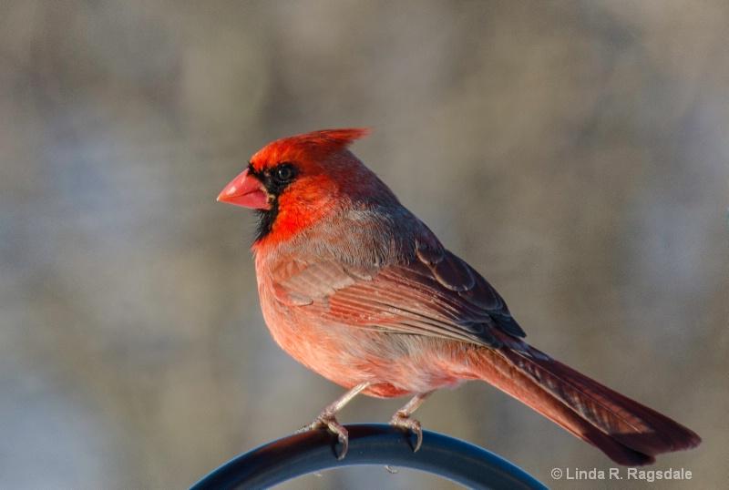 Cardinaluscious