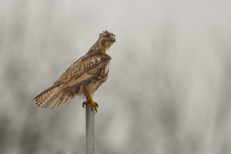 Wet Hawk in the Rain