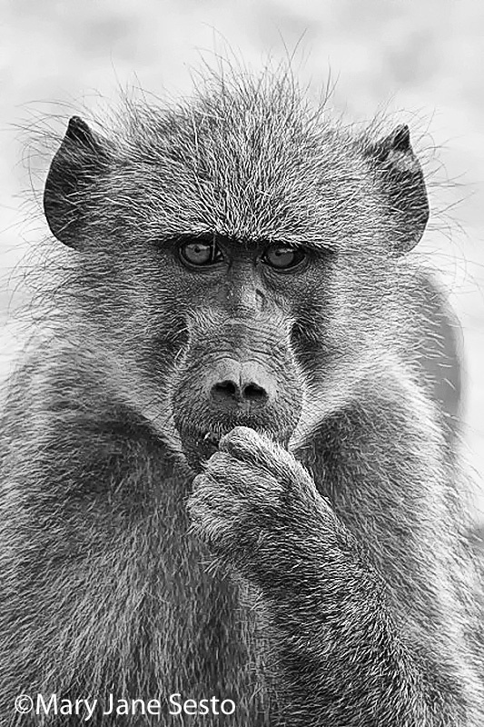 Chacma Baboon B&W, South Africa