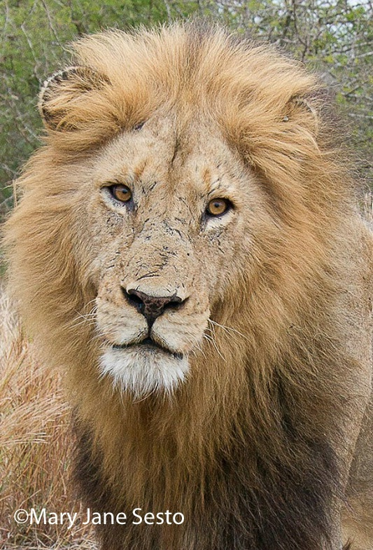 Lion61, South Africa