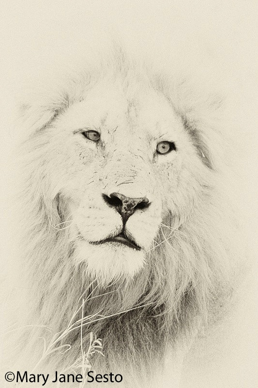 Lion60, South Africa