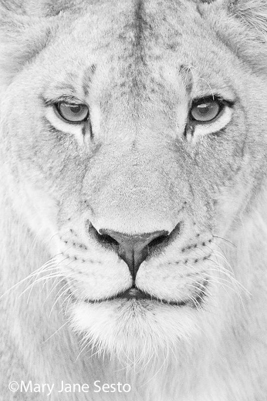 F. Lioness B&W, South Africa