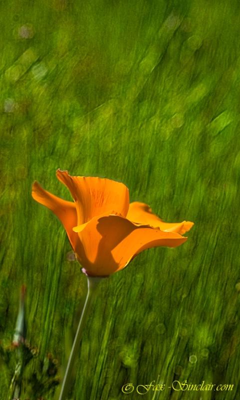 One Poppy in the Grass