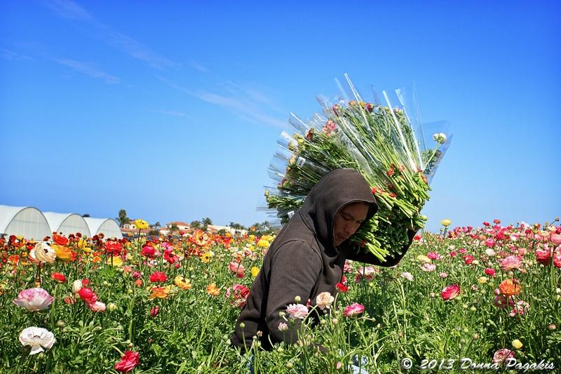 Harvesting Ranunculus