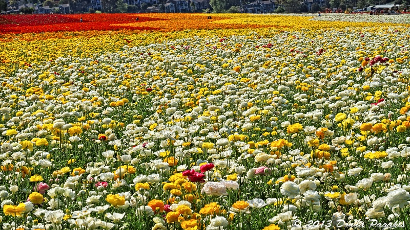 Flowing Field of Flowers