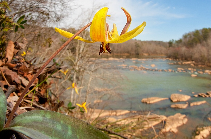Trout Lily and Chattahoochee River