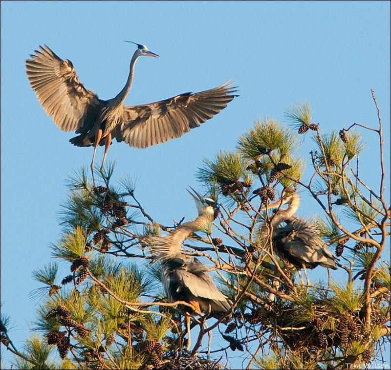 Heron Landing at Nest