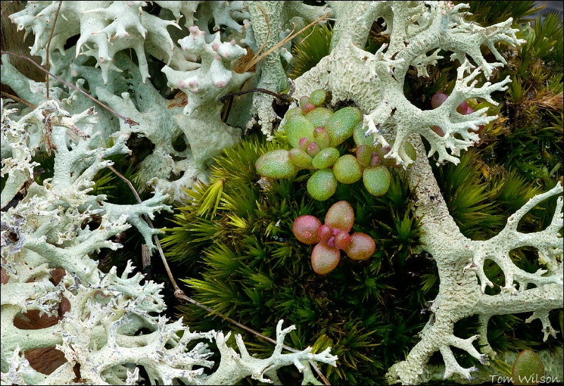 Haircap Moss, Diamropha and Lichen