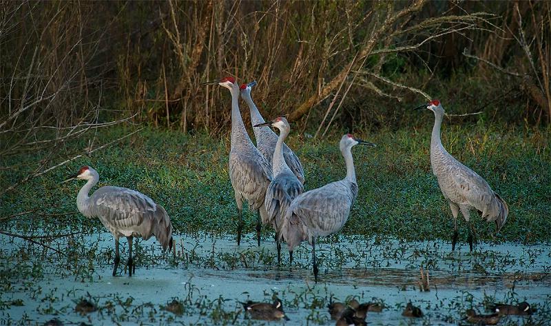 Six Sandhill Cranes -Circle Bar B Preserve,FL