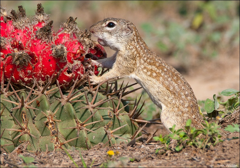 Mexican Ground Squirrel eating Horse Crippler