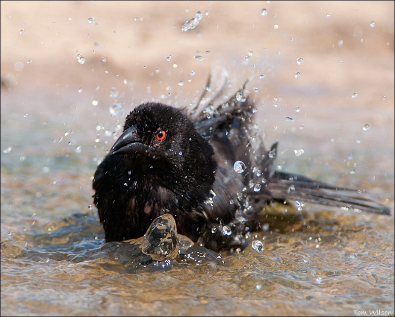 Bronzed Cowbird Bathing