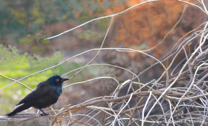 Black Bird Perched On A Pile of Twigs !