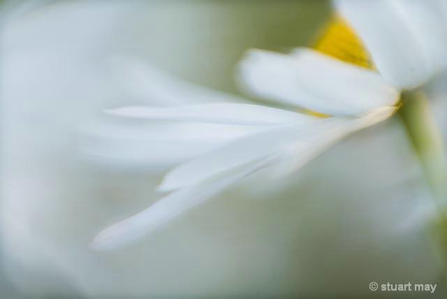 Dance of the Daisy