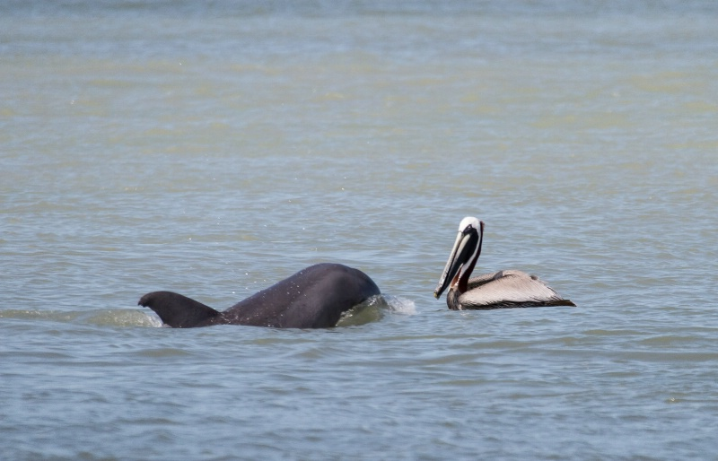 Dolphin and Pelican