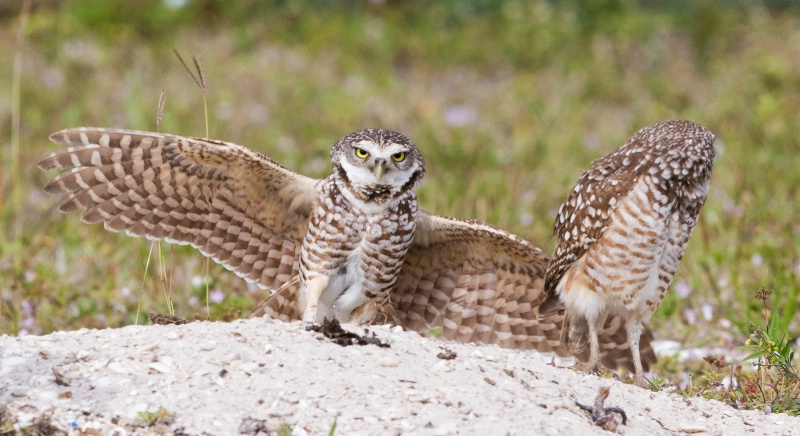 Burrowing Owl at Nest Site