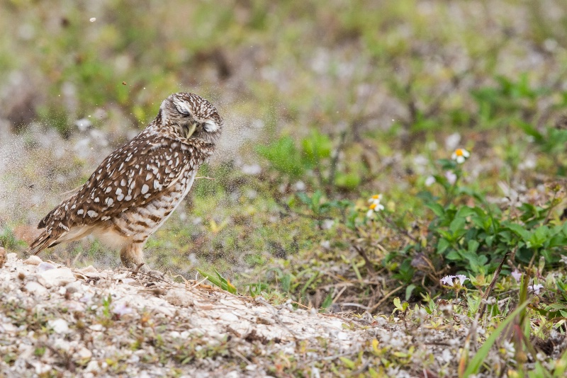 Burrowing owl getting a face full of dirt.