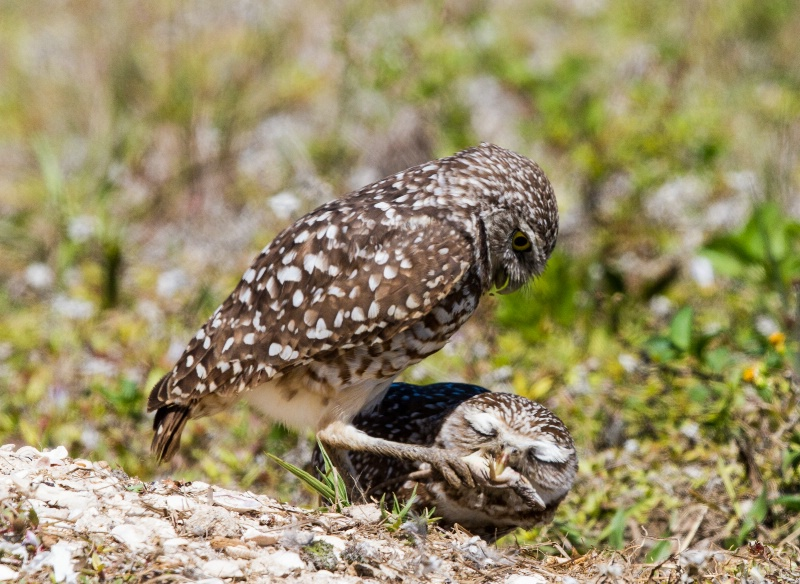 Burrowing Owl Thief
