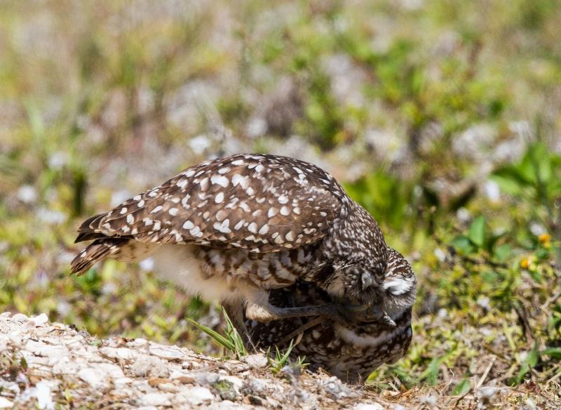 Burrowing Owl Battle for the Lizard