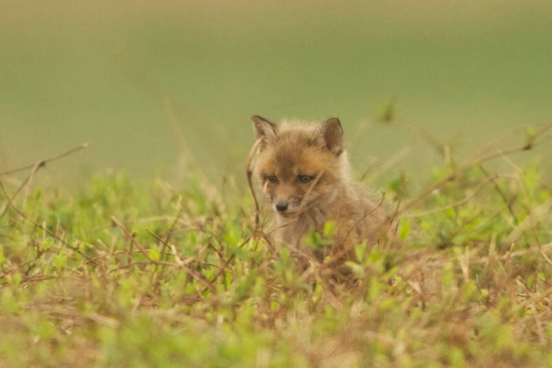 Baby Fox in Valley Forge