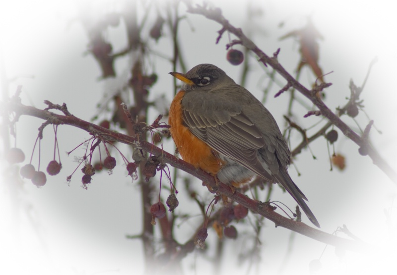 Robin -- searching for spring.