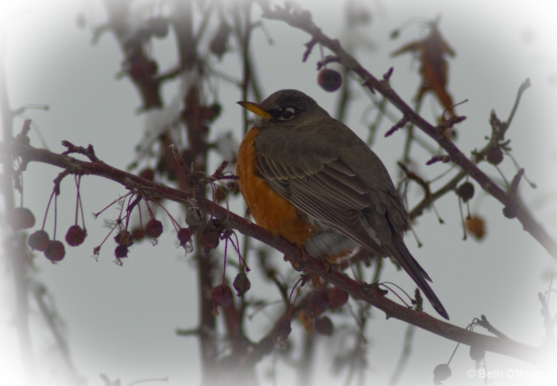 Robin -- Searching for Spring #2