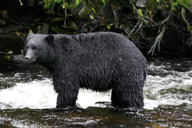 jd9i8691-black bear-ketchikan-sss