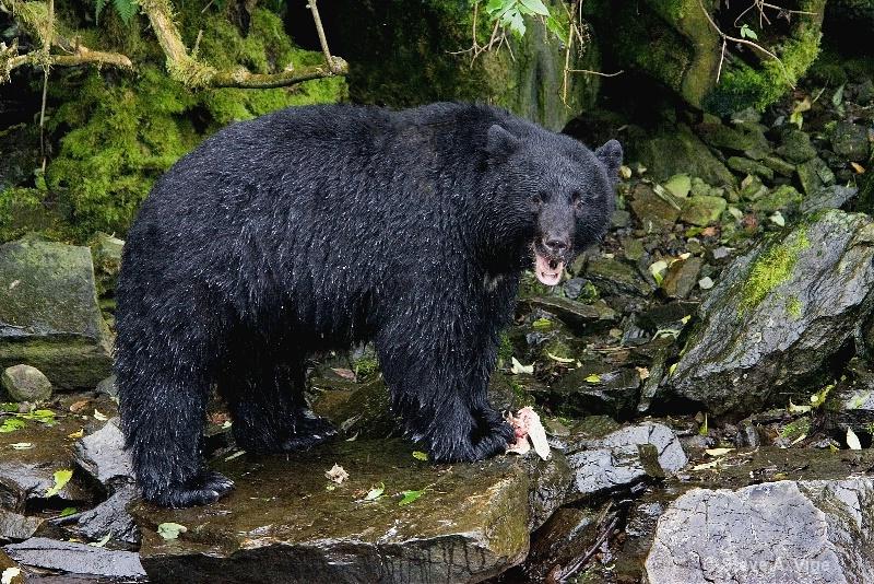 jd9i8654-black bear-ketchikan-sss
