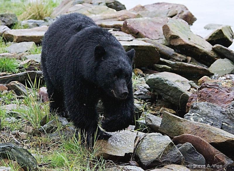 jd9i8617-black bear-ketchikan-sss