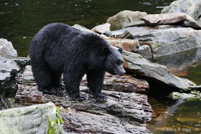 jd9i8605-black bear-ketchikan-sss