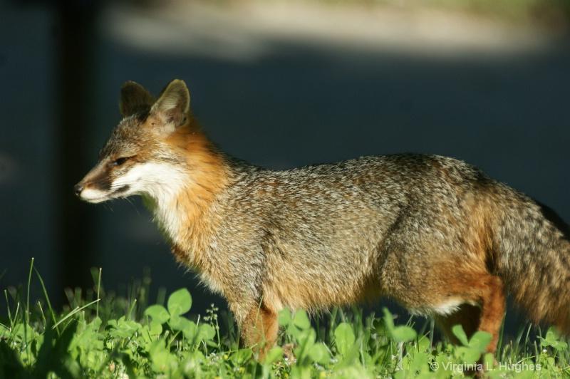 Grey Fox 6