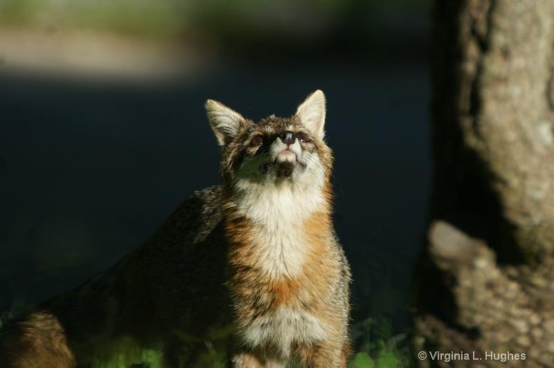 Grey Fox 5
